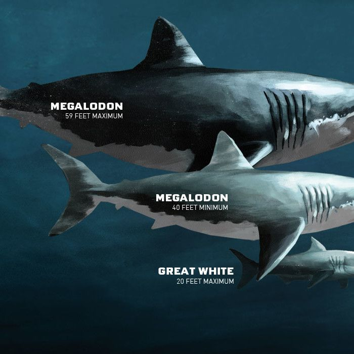 Megalodon | Sharkopedia | Kids-STEM | Pinterest ...
