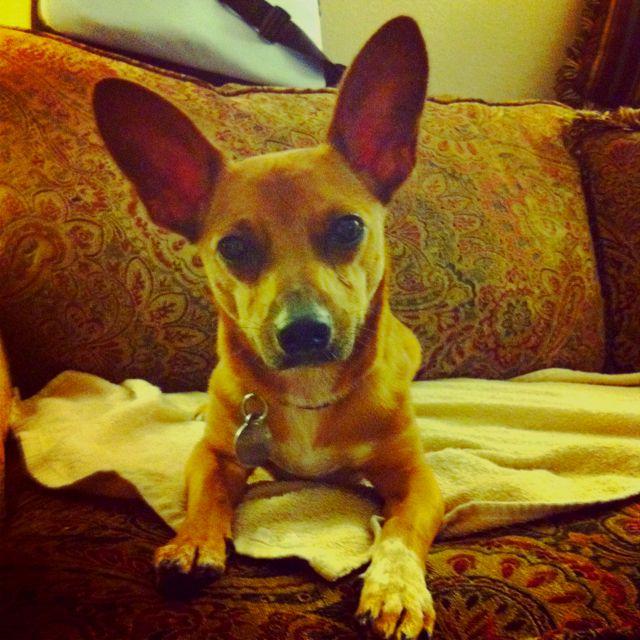 Chiweenie Stare Down Weenie Dogs Chiweenie Dog Breeds