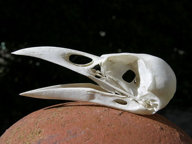 crow skull - Cerca amb Google