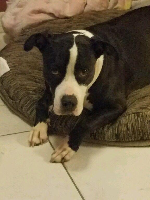 Lost Dog - American Bulldog - Miami, FL, United States