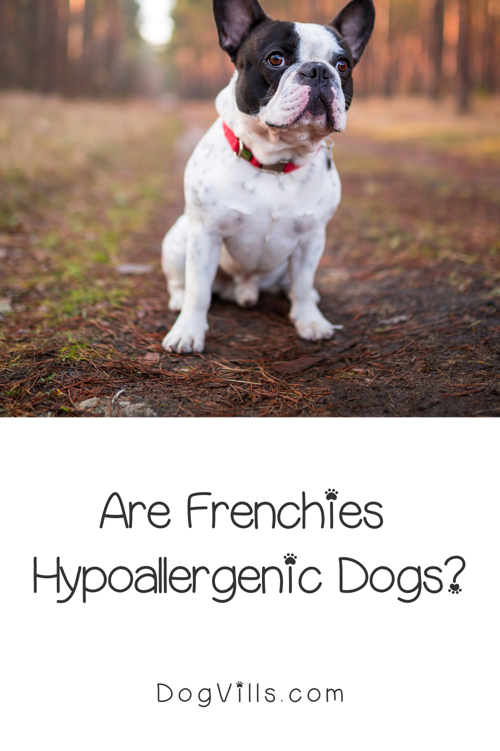 Are French Bulldogs Hypoallergenic Dogs? DogVills in