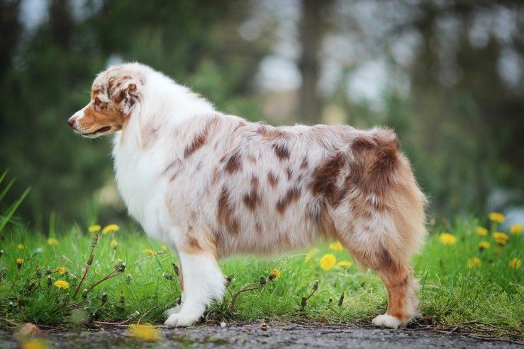 Australian Shepherd Dog Breed Facts Highlights Buying Advice Pets4homes In 2020 Australian Shepherd Dogs Shepherd Dog Breeds Aussie Dogs