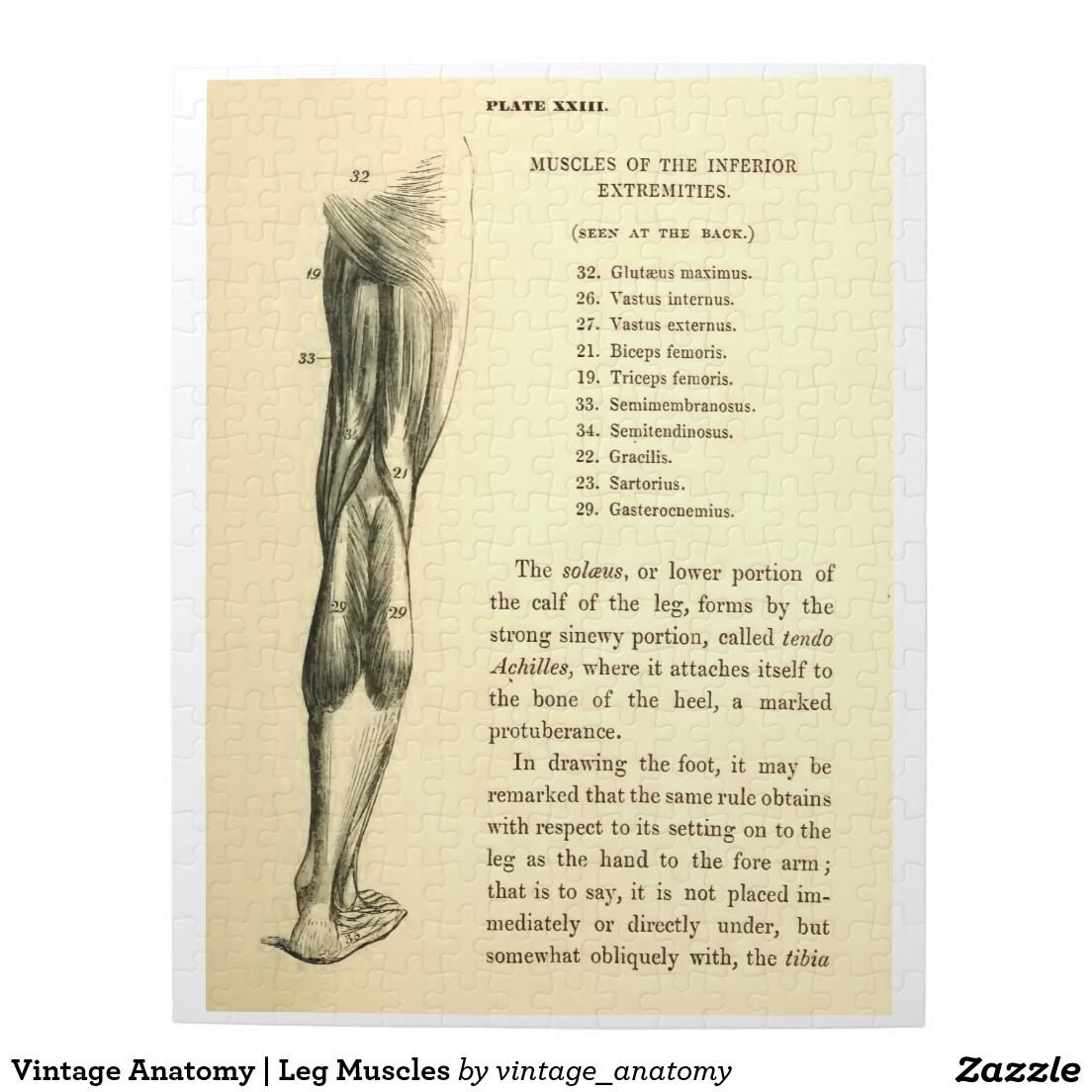 Vintage Anatomy | Leg Muscles Jigsaw Puzzle | Anatomy