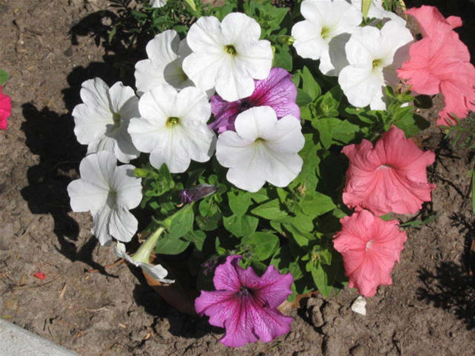 Ampelschirme Gunstig Online Kaufen Bestellen Petunien Garten