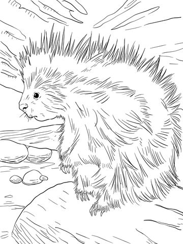 cute north american porcupine coloring page organization planning