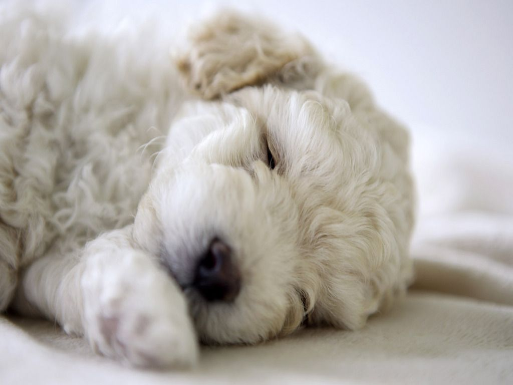 Cute puppy sleeping animals pinterest dog animal and doggies