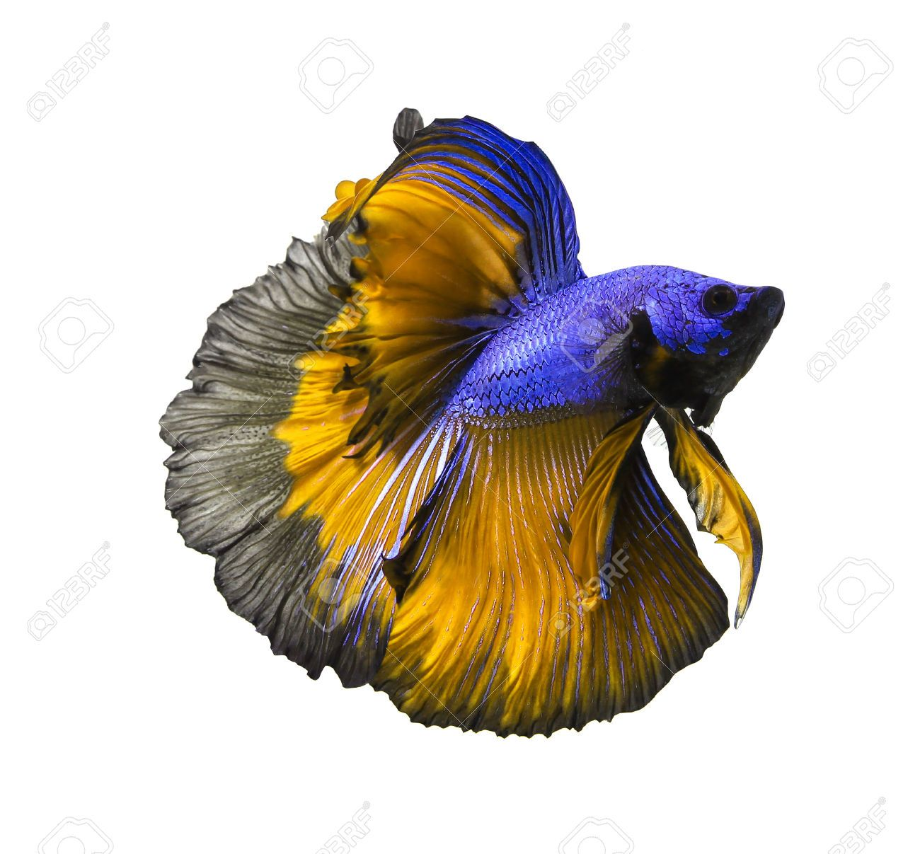 Siamese Fighting Fish Betta Isolated On White Background Siamese Fighting Fish Betta White Background