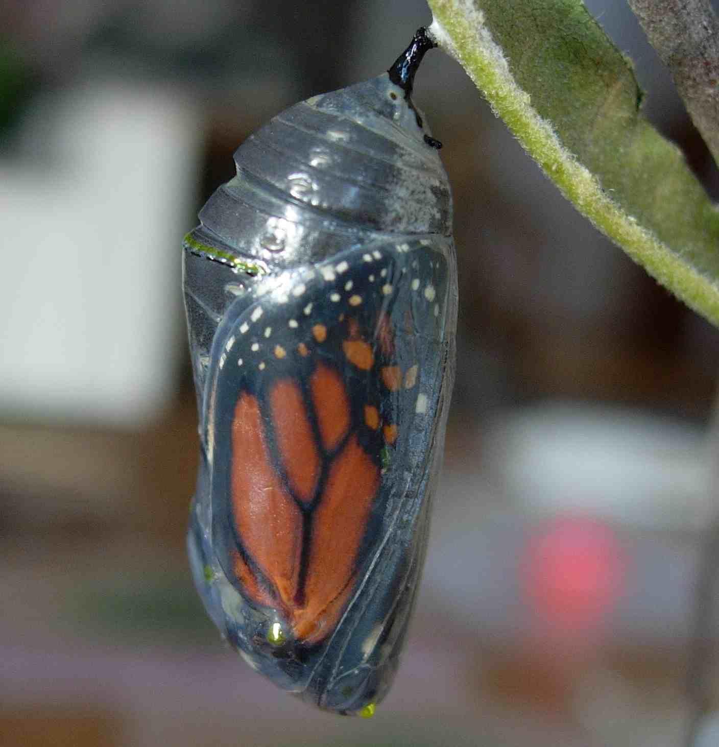Monarch chrysalis Monarchs Pinterest Beautiful bugs