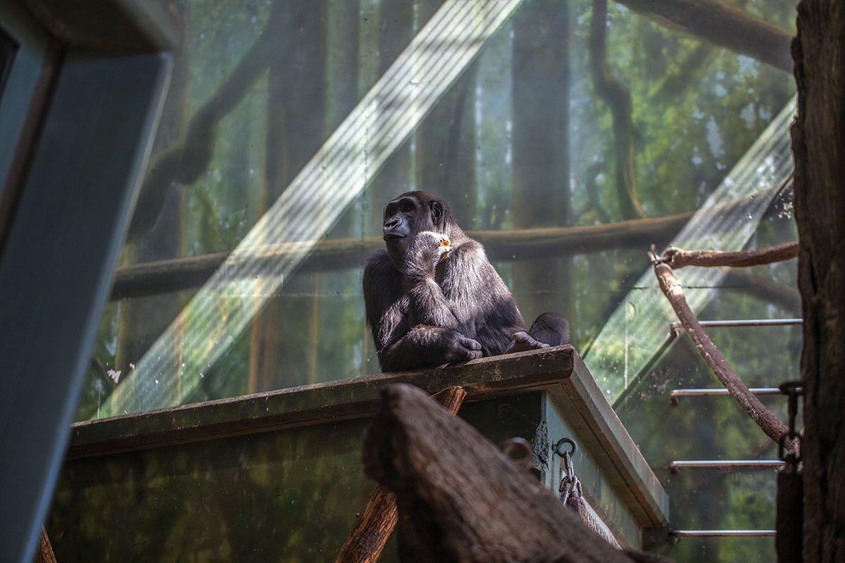 Amare Western lowland gorilla Western lowland gorilla