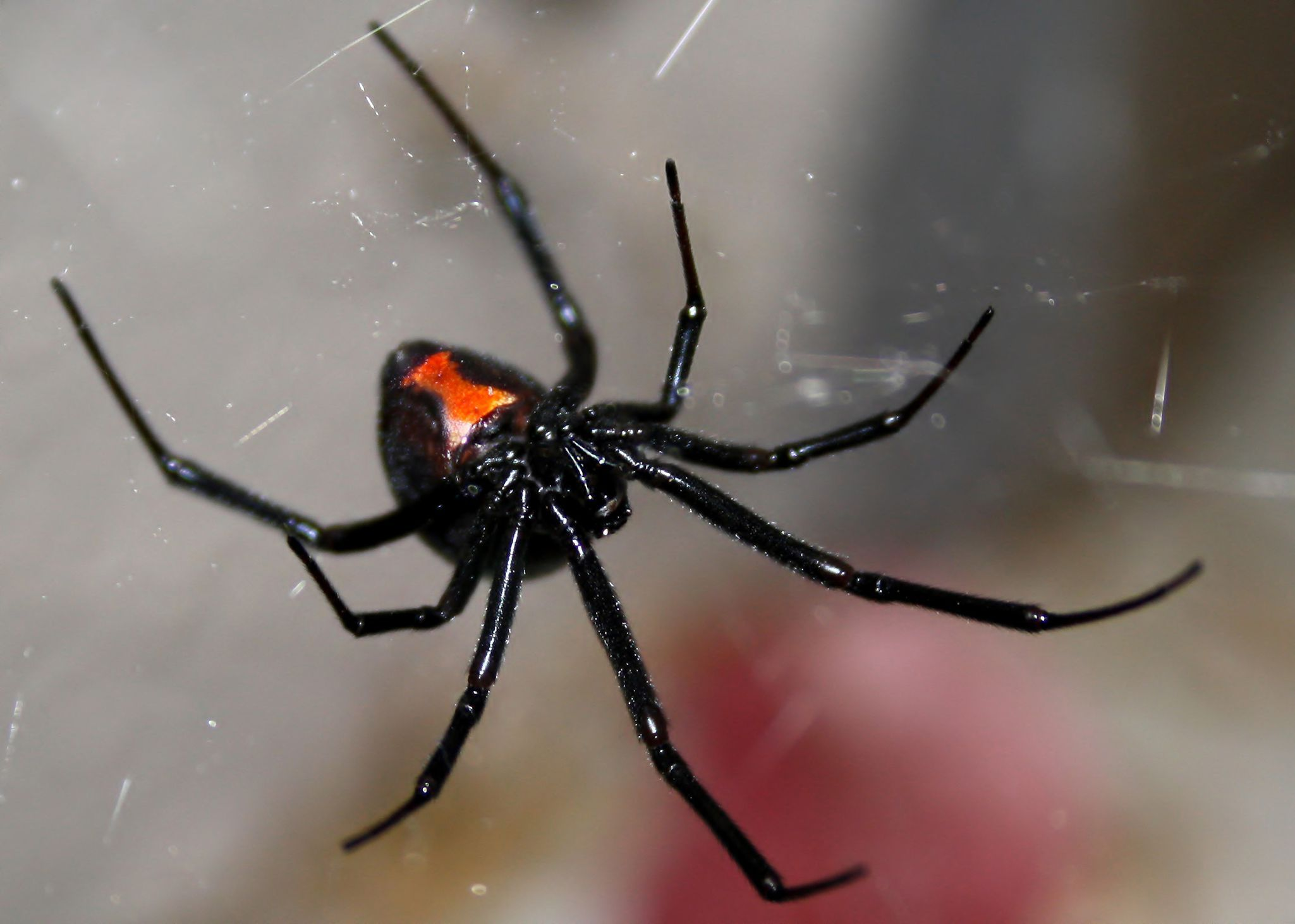 Poisonous Spiders In Georgia What You Need To Know Spider
