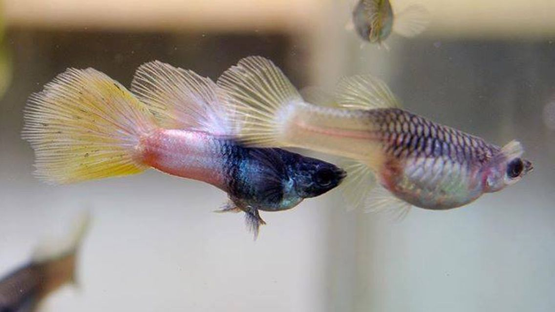 Pink Pingu Guppy Fish Fresh Water Fish Tank Guppy