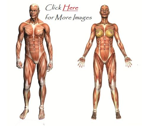 Muscular system without labels front and back | Muscular System ...