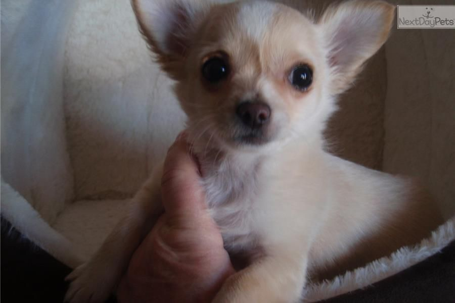 Chihuahua Puppy For Sale Near North Platte Nebraska 2cb599e4