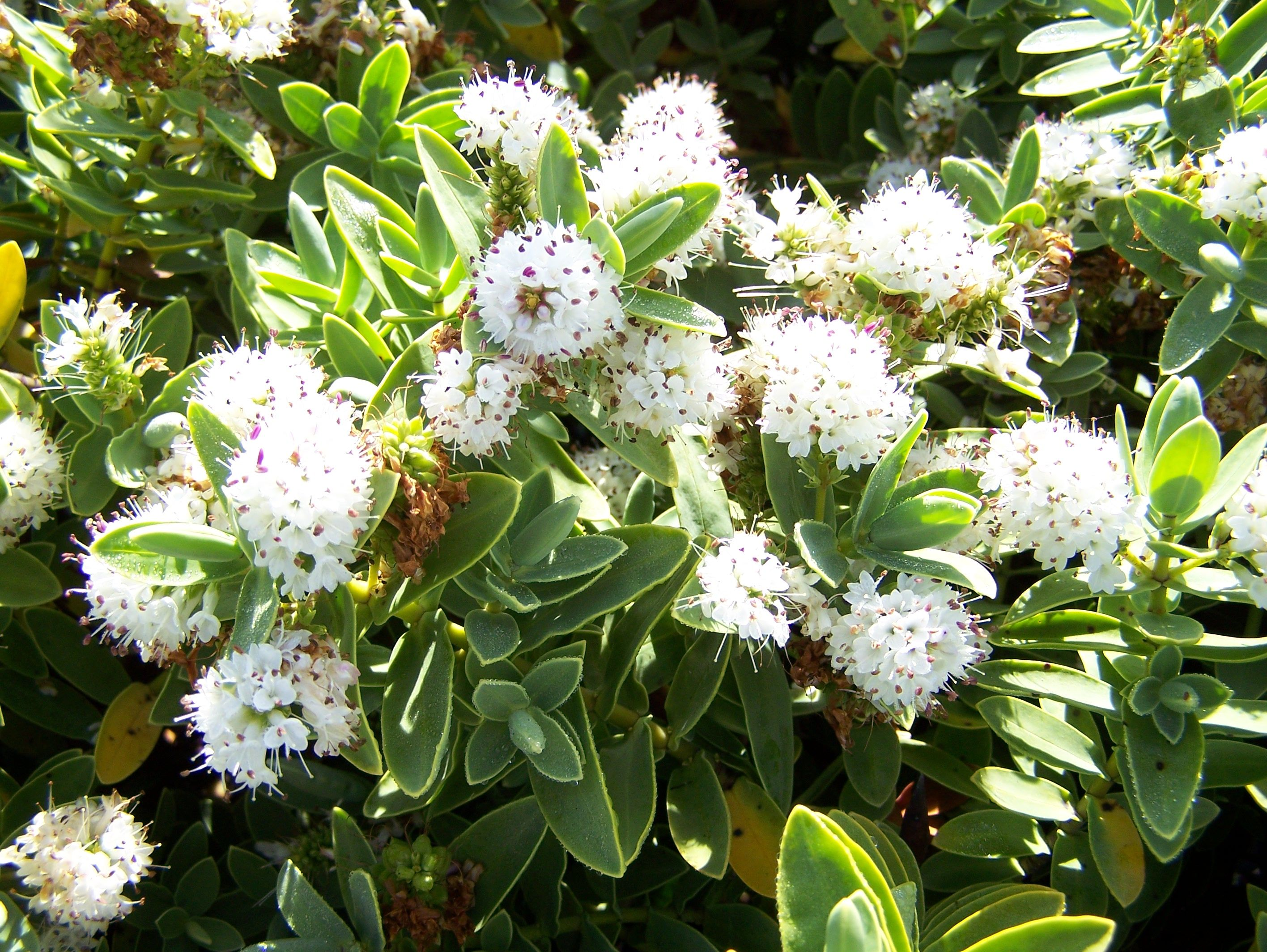 Hebe Albicans A Small 1m Evergreen Shrub With White Flowers In