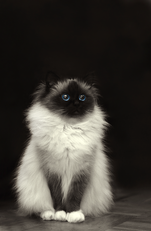 Beautiful Cat Looks Like Possibly A Ragdoll Which Are Awesome Beautiful Cats Pretty Cats Cute Cats