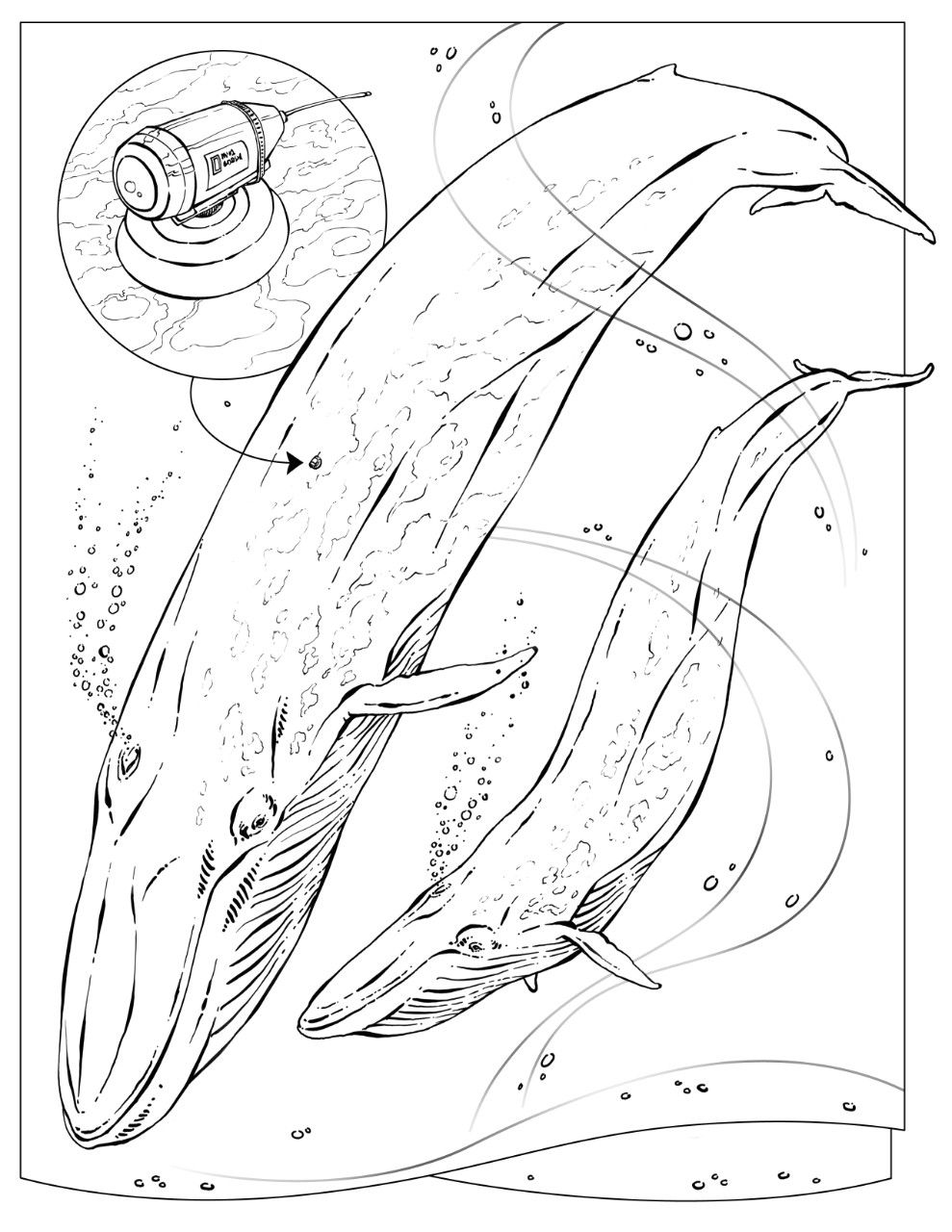 Free coloring pages killer whale - Coloring Book Animals A To I