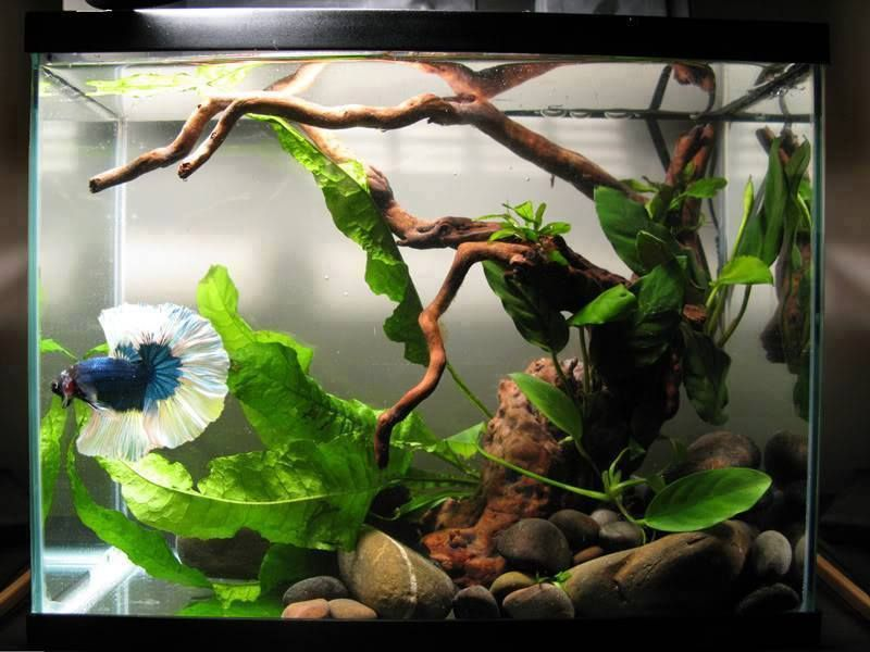 Betta aquarium with driftwood and live plants http www for Betta fish tank ideas
