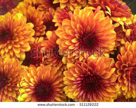 Beautiful Chrysanthemum As Background Picture Chrysanthemum Wallpaper Chrysanthemums In Autumn Fall Flowers Beautiful Flowers Autumn Garden