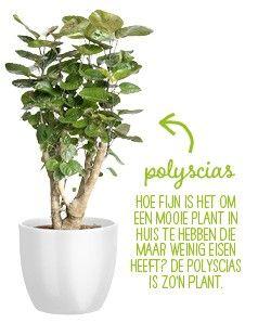 Grote kamerplanten top 10 intratuin bloemen plant for Grote kamerplanten