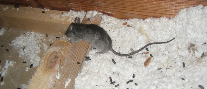 Rodents Roof Rats Rodent Removal Livestock Food