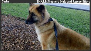 Sasha Is An Adoptable Belgian Shepherd Tervuren Dog In Pompano Beach FL This We Believe Her To Be A Mix