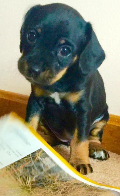 Adopt WeebleADOPTION PENDING!!! on Puppy adoption