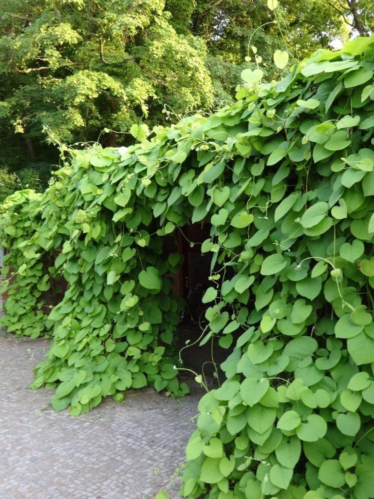 Geniale Rankpflanze Fur Rankgitter Rankhilfen Oder Gartenlauben