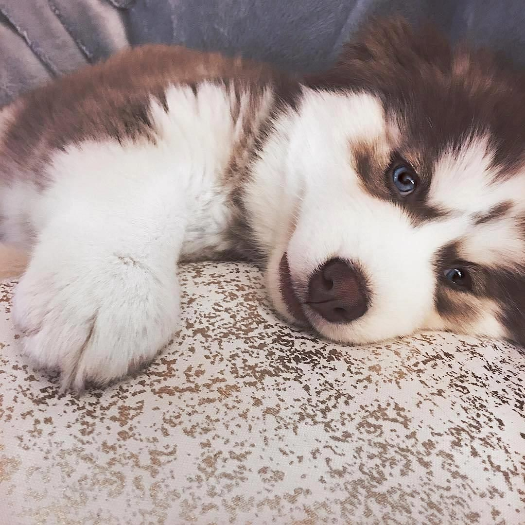 Buy & Sell Alaskan Malamute puppies online https//www