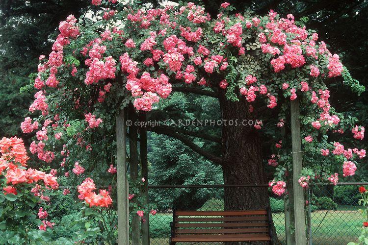 Climbing roses american pillar plant flower stock photography rosa american pillar climbing rose over trellis pink flowers bench arbor mightylinksfo