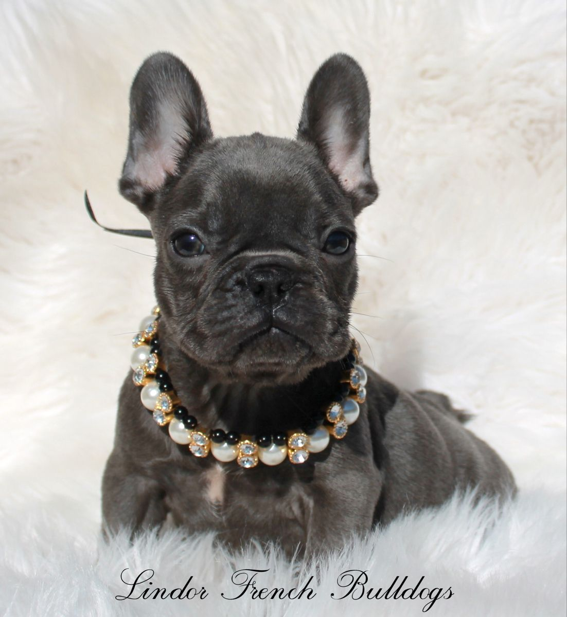Blue French bulldog puppies for sale frenchiesofinstagram