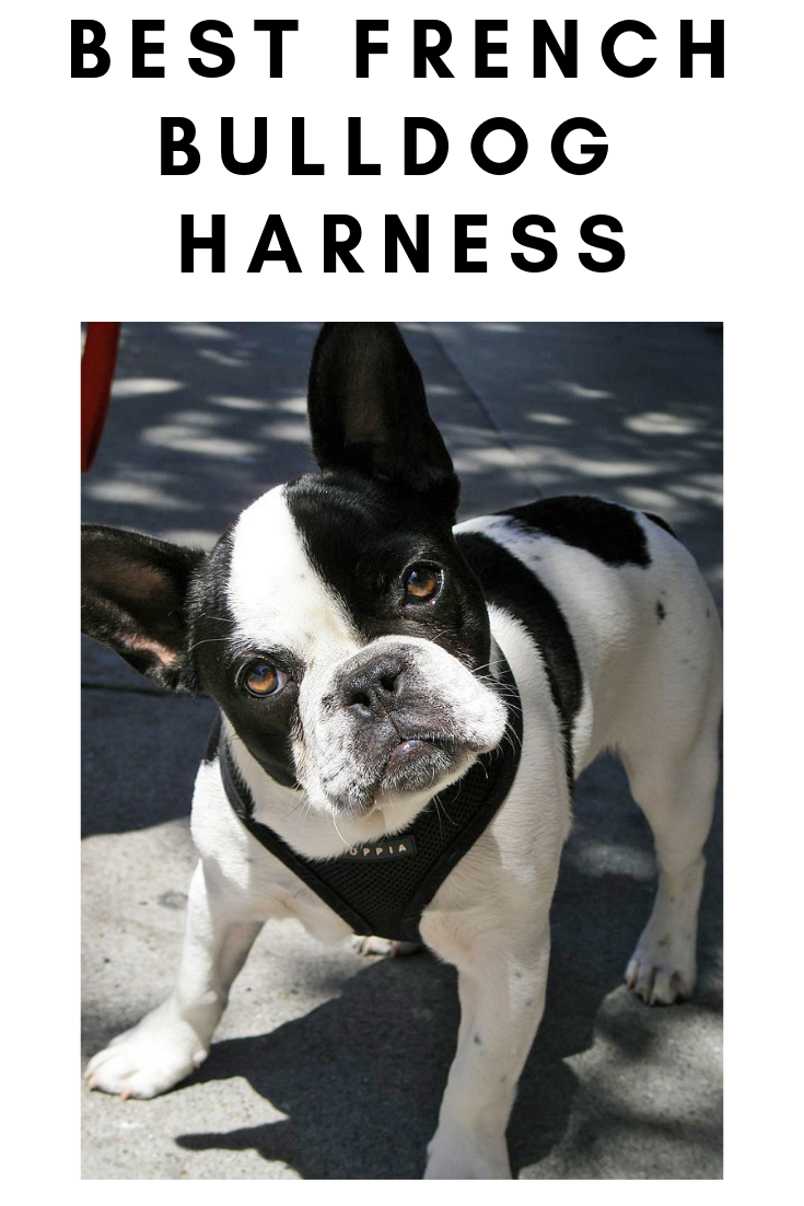 Best French bulldog harnesses French bulldog harness