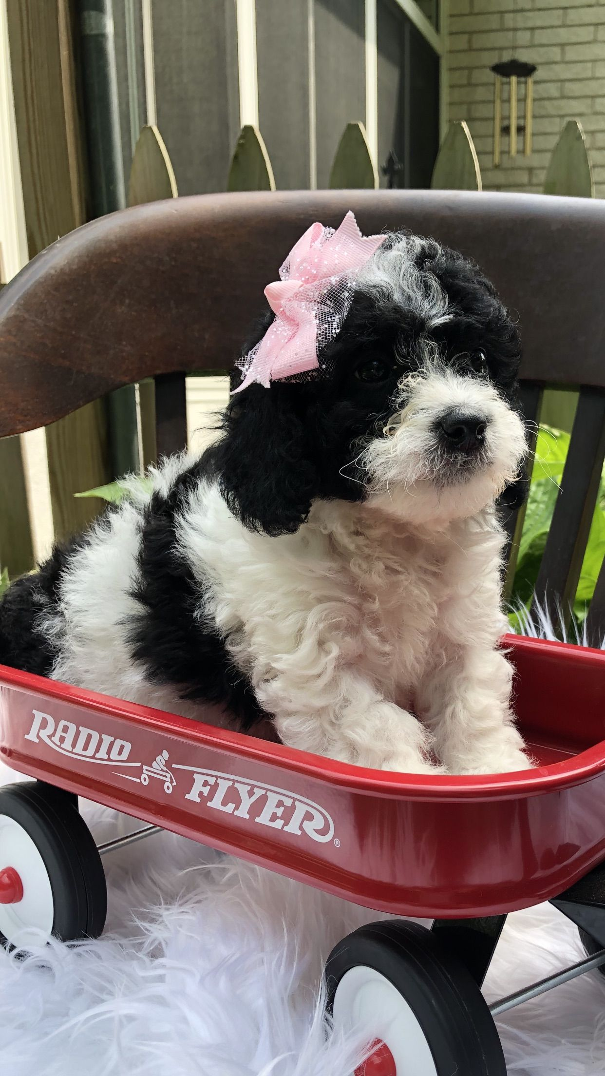 Lexi Bernedoodle puppy for sale (Richmond, Michigan)