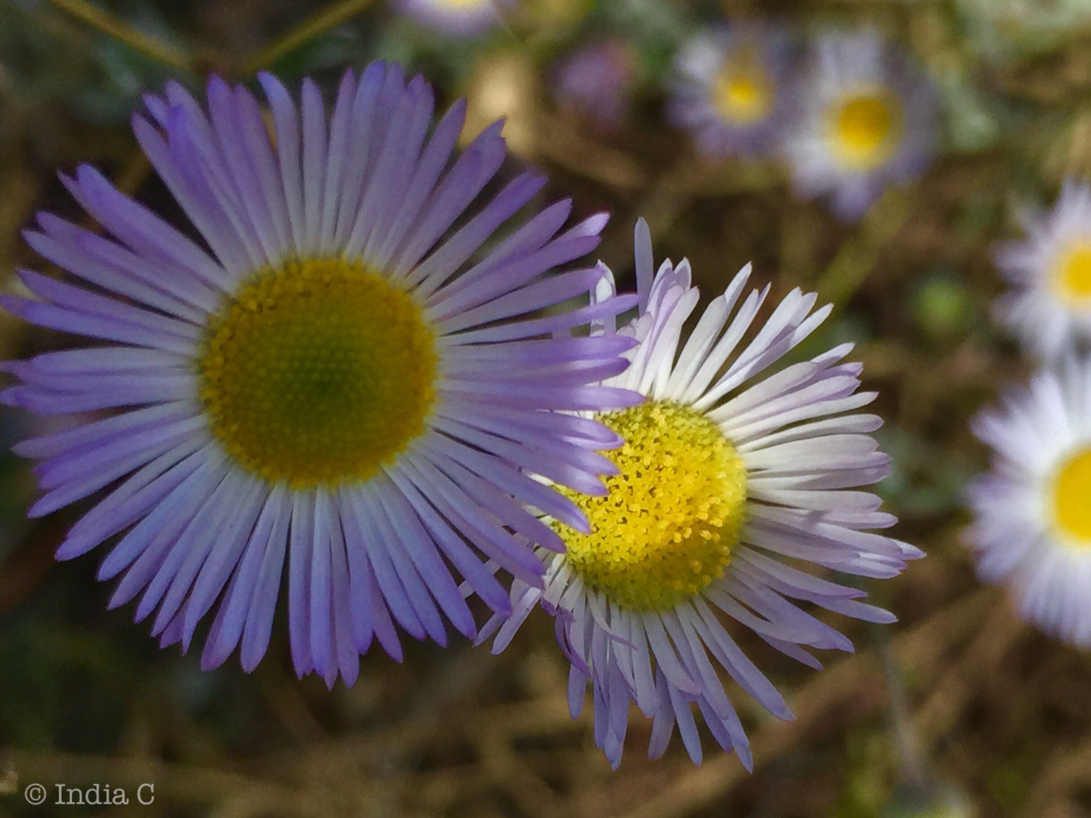 The Asteraceae Or Compositae Commonly Referred To As The Aster Daisy Composite 4 Or Sunflower Family Are An Exce Planting Flowers Sunflower Family Plants