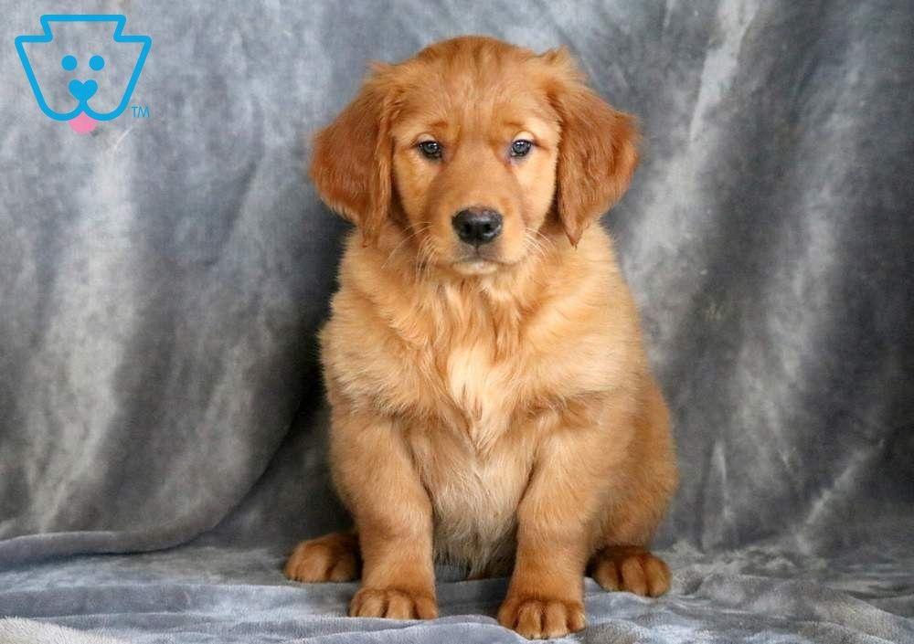 Jayla Golden Retriever Puppy For Sale Keystone Puppies Golden Retriever Retriever Puppy Golden Retriever Puppy