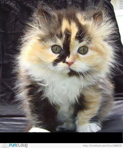 Photo of Calico Persian #Kitten (=^.^=) Thanks, Pinterest Pinners, for…