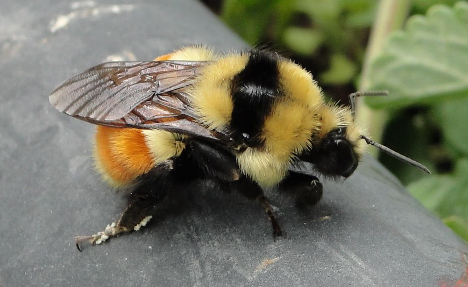 I LOVE A FAT BEE. | bees! | Pinterest | Bees