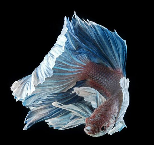 Incredible Photography Of Siamese Fighting Fish Siamese Fighting Fish Betta Fish Betta