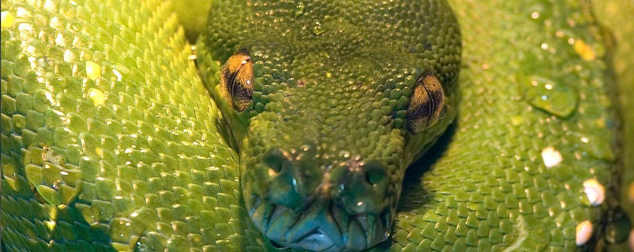 green tree python setup - Google Search