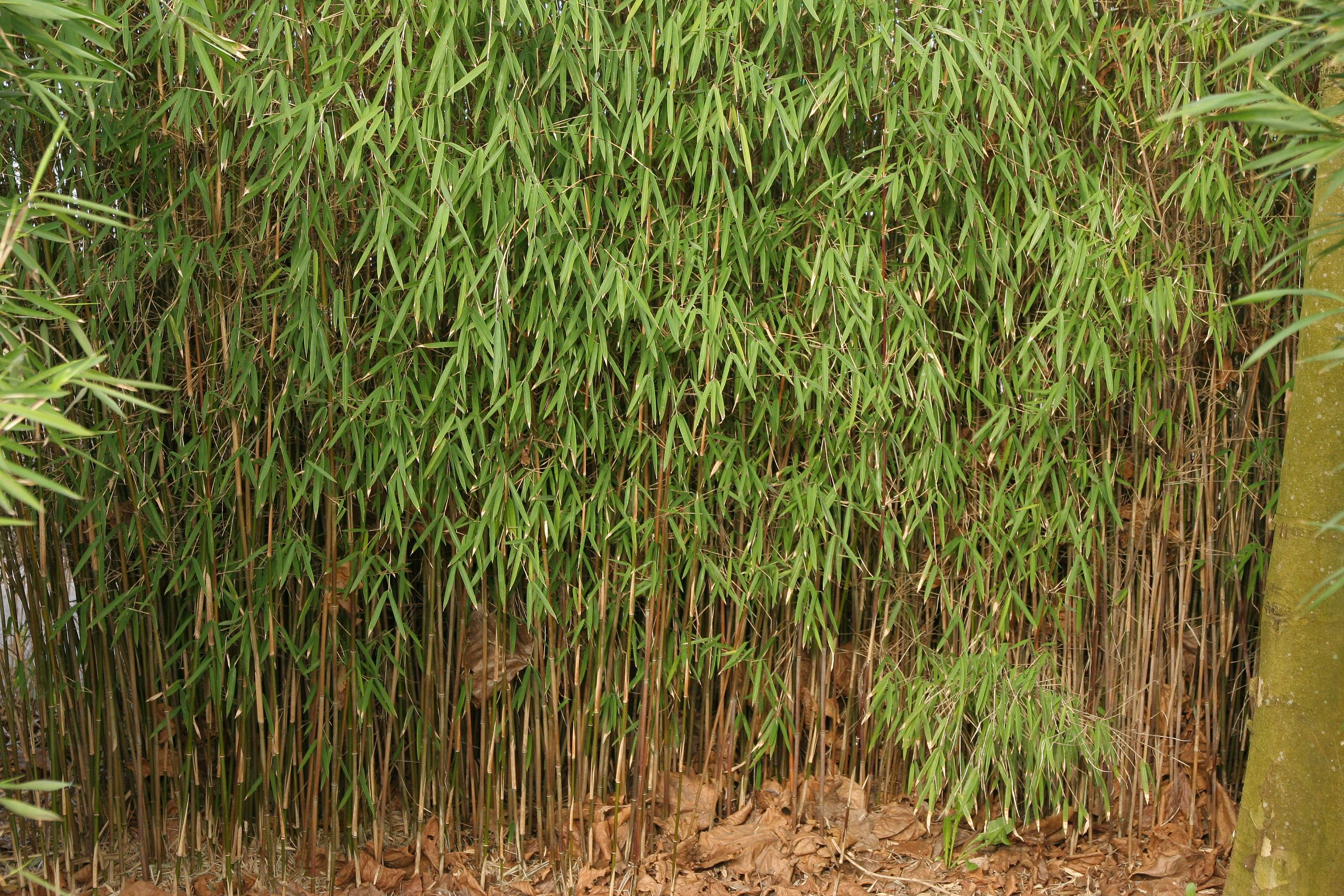 Jade Bambus Fargesia jiuzhaigou 1