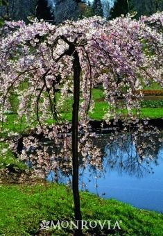 Double Weeping Flowering Cherry Full Sun Regular Watering Weekly Or More Often In Extreme Heat Japanese Garden Plants Japanese Cherry Tree Monrovia Plants