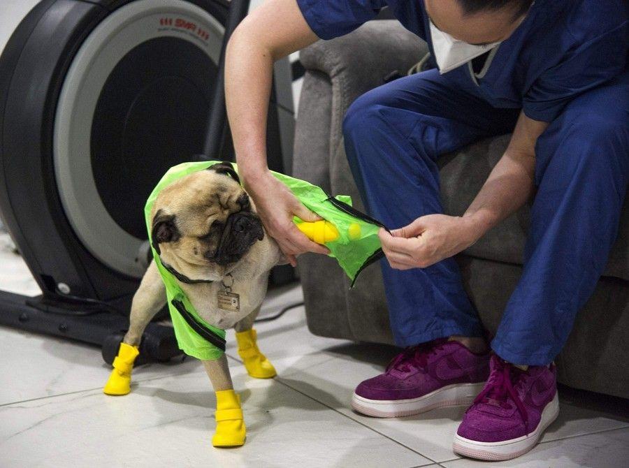 セラピー犬のパグ ハーリー 医療従事者を笑顔に afp 時事 Yahoo ニュース パグ セラピー 犬