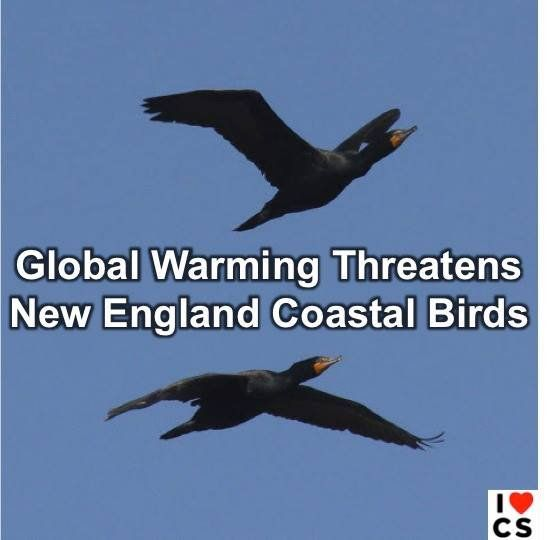 Rising sea levels brought on by climate change threaten some of New England's signature coastal birds  The Boston Globe:
