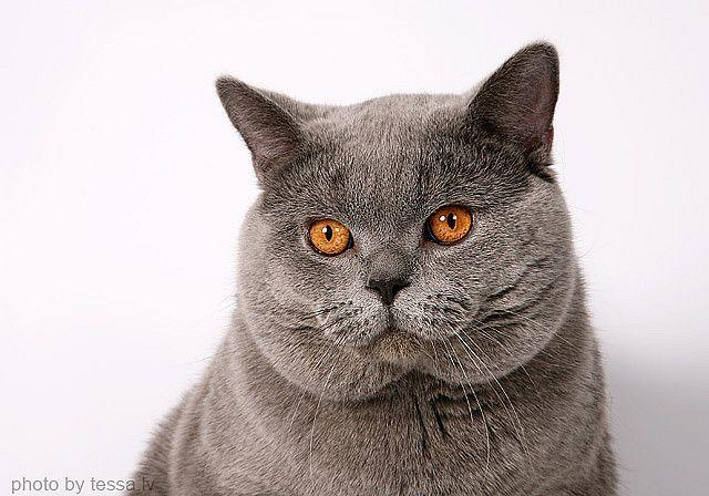 British Shorthair Cat British Shorthair Cats Cats And Kittens British Shorthair