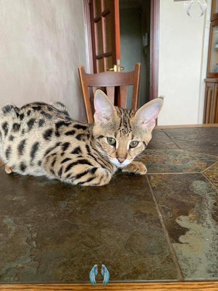F1 savannah kittens for sale Savannah cat Serval F1