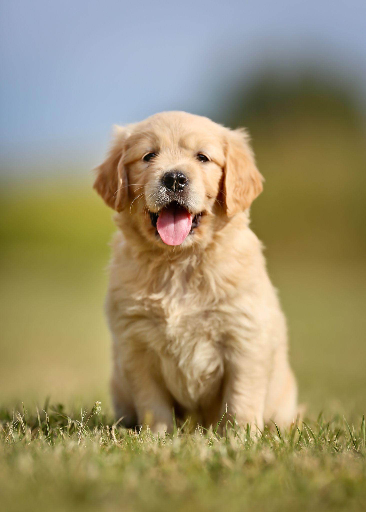 Cute Golden Retriever Puppy By Mikkel Bigandt On 500px Dog