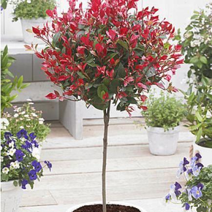 Rotlaubige Glanzmispel Blumen Fur Garten Pflanzen Bepflanzung