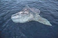 Ocean sunfish (mola mola) busking in the sun. Molas hold the world record for heaviest bony fish.  #big #fish #strange #animals