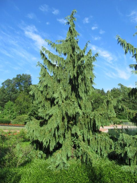 Evergreens Alaska Cedar At Kingwood Center Mansfield Ohio