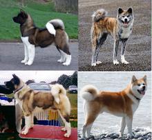 Akita Dog Wikipedia The Free Encyclopedia Akita Dog Japanese Dogs Akita