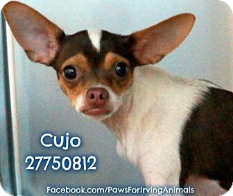Rockaway, NJ Chihuahua/Italian Greyhound Mix. Meet Cujo